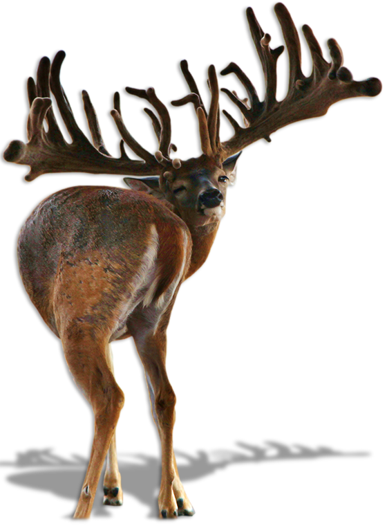 gladiator xl whitetail buck